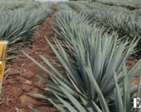 Your guide to Mezcal and tequila, the British side of Mexican food, Aztec sorbets. Ep.07